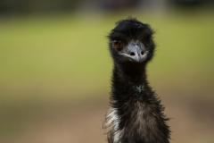 'Ello Emu