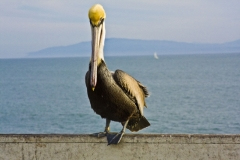 Pelican at the Wharf